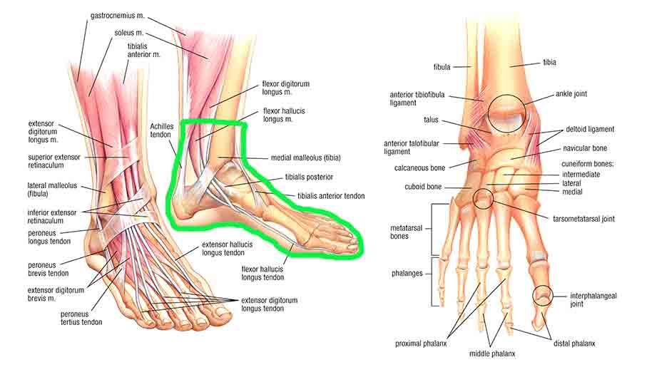 Complete Foot Tendon Diagram Enlarged Electrical Work Wiring Diagram